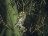 Elf Owl (Micrathene Whitneyi)  Arizona  USA