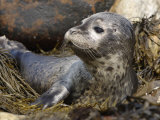 Close-Up of a Harbor Seal Pup Resting Among Seaweeds on Shore  Phoca Vitulina  North America
