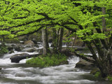 Mountain Stream in Spring  Great Smoky Mountains NP TN