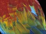 Scarlet Macaw Feathers  Ara Macao  Amazonas  Brazil  South America