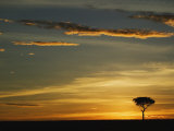 Acacia Tree Silhouetted at Sunrise  Masai Mara  Kenya