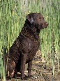 Chesapeake Bay Retriever Sitting by Reeds