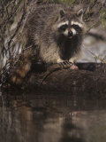 Raccoon  Procyon Lotor  Eating a Trout Caught in a Forest Stream  North America