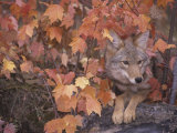 Coyote Hunting from a Sheltered Site Among Fall Leaves (Canis Latrans)  North America