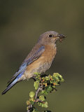 Female Western Bluebird  Sialia Mexicana  with an Insect in its Bill  North America