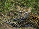 African Leopard Cub  Panthera Pardus  Masai Mara Game Reserve  Kenya  Africa