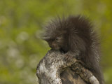 Common Porcupine Juvenile  Erethizon Dorsatum  North America