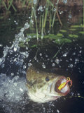 Largemouth Bass  Surface Lure