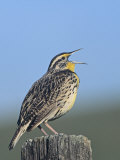 Western Meadowlark Singing (Sturnella Neglecta)  North America