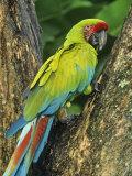 Great Green Macaw (Ara Ambigua)  Costa Rica  Central America
