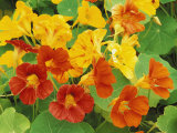Nasturtium Flower Color Varieties  Tropaeolum  USA