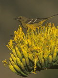 Female Scott's Oriole on Agave Blossom (Icterus Parisorum)  Western North America