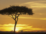 Acacia Tree Silhouetted at Twilight on the Savanna  Kenya  Africa