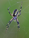 Black and Yellow Argiope  Argiope Aurantia in Web  Wisconsin