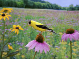 American Goldfinch on a Coneflower (Carduelis Tristis)  Eastern USA
