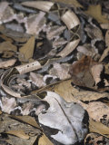 Gaboon Viper Showing Protective Coloration in Leaf Litter  Bitis Gabonica  Central Africa