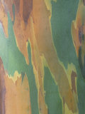Close-Up of Variegated Rainbow Eucalyptus Tree Bark  Eucalyptus Deglupta  Australia