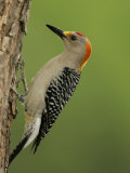 Male Golden-Fronted Woodpecker  Melanerpes Aurifrons  Texas  USA