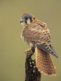 Female American Kestrel  Falco Sparverius  North America