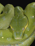 Green Tree Python    Chondropython Viridis  Adult Specimen  Australia  New Guinea