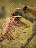 Spotted Hyena  Crocuta Crocuta  Carrying a Skeleton from a Kill  East Africa