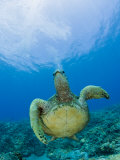 Green Sea Turtle Swimming (Chelonia Mydas)  Marshall Islands  Pacific Ocean