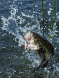 Largemouth Bass and Spinnerbait