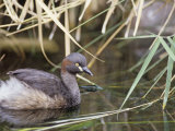 Australasian Grebe  Tachybaptus Novaehollandiae  Australia