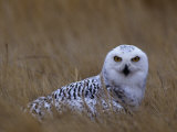 Female Snowy Owl  Nyctea Scandiaca  Standing in Dried Grass  North America