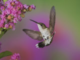 Juvenile Male Ruby-Throated Hummingbird in Flight Near a Flower (Archilochus Colubris)  Eastern USA