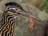 Greater Roadrunner Head with Meat in its Bill  Geococcyx Californianus  Arizona  USA