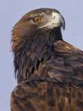 Golden Eagle Head Showing its Eye and Bill  Aquila Chrysaetos  North America