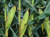 Ears of Corn on the Stalk (Zea Mays)