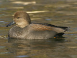 Male Gadwall Duck Swimming  Anas Strepera  North America