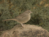 Rufous-Crowned Sparrow (Aimophila Ruficeps) Perched on a Rock  Arizona  USA