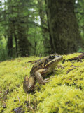 Red-Legged Frog  Rana Aurora  Olympic National Park  Washington  USA