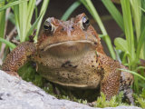 American Toad (Bufo Americanus)  North America