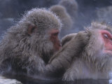 Snow Monkeys Grooming While Soaking in a Hot Spring (Macaca Fuscata)  Japan  Asia