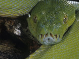 Green Tree Python Showing Pits  Chondropython Viridi  New Guina