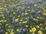 Spring Wildflowers  Layia and Lupine  on the Carrizo Plains  California  USA