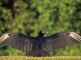 Black Vulture  Coragyps Atratus  with Spread Wings  Everglades National Park  Florida  USA