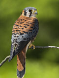 Male American Kestrel (Falco Sparverius)  USA