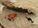 Strawberry Poison Dart Frog  Dendrobates Pumilio