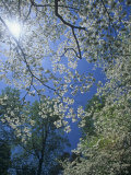 Skyward View of the Flowering Dogwood in the Spring  Cornus Florida  Eastern North America