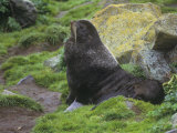 Northern Fur Seal on Shore  Callorhinus Ursinus  Pribilof Islands  Alaska  USA