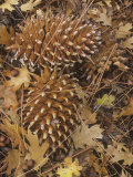 Digger Pine Cones Among Leaf Litter on the Forest Floor  Pinus Sabiniana  California  USA