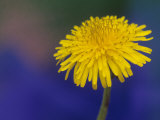 Dandelion Flower  Taraxacum Officinale