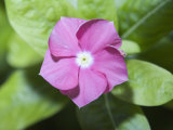 Rosy Periwinkle (Catharanthus Roseus)  the Source of an Anti-Cacer Drug