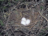 Greater Roadrunner Eggs in the Nest  Geococcyx Californianus  Western USA