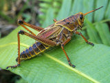 Eastern Lubber Grasshopper  Romalea Microptera   Florida  USA